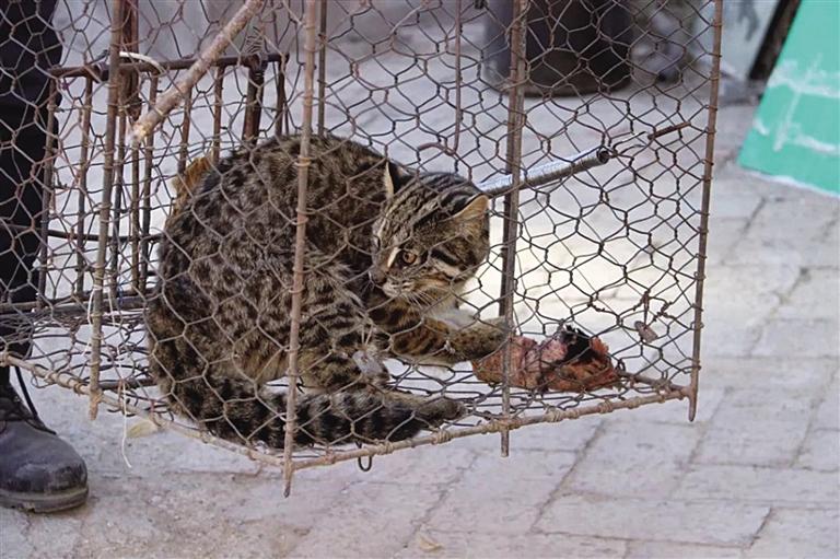 """森林民警救助国家""""三有""""保护动物豹猫"""