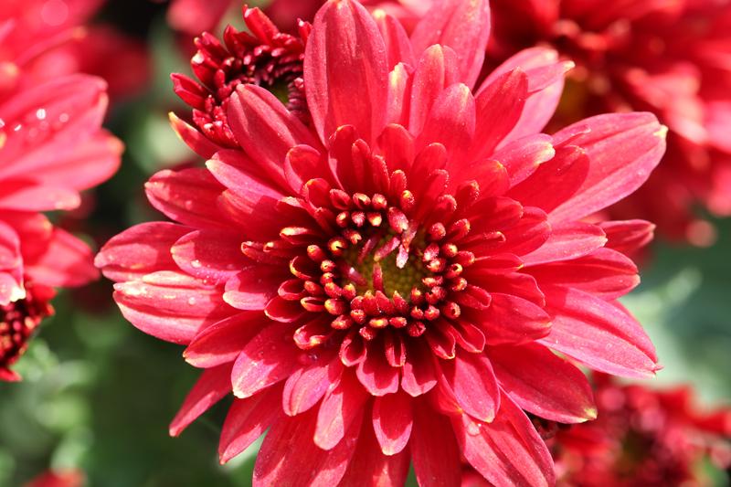 兰州植物园:中秋赏菊