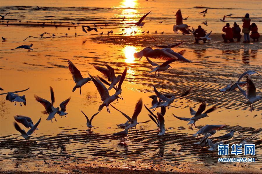 北戴河初春观鸥舞
