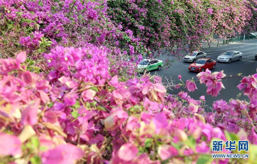福建泉州:车在花中行