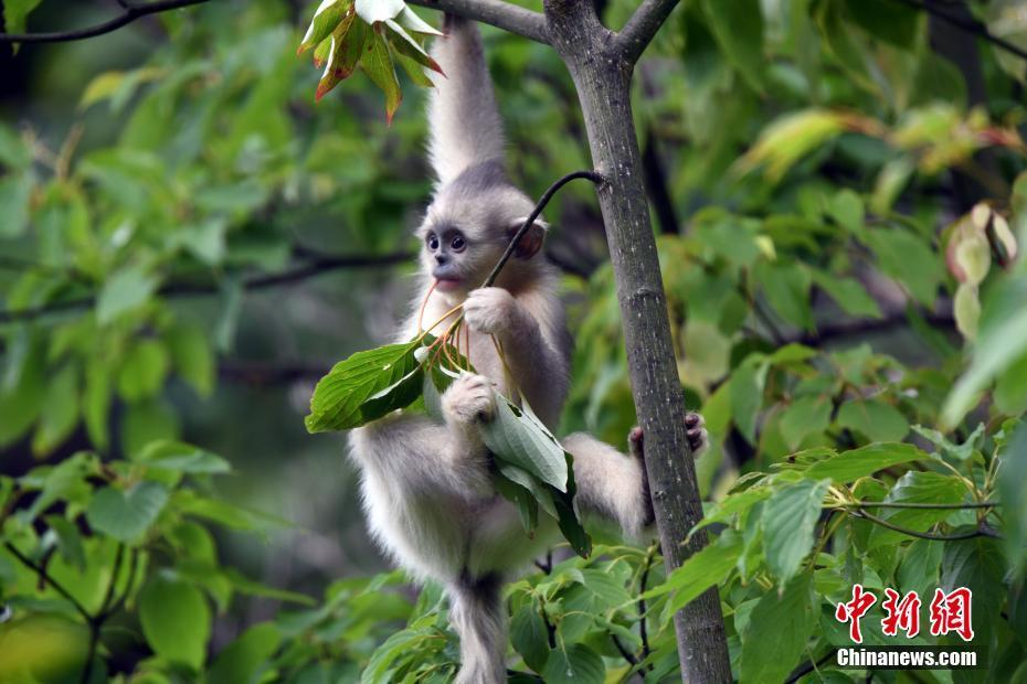 探访香格里拉滇金丝猴国家公园:活跃猴群引游客观赏
