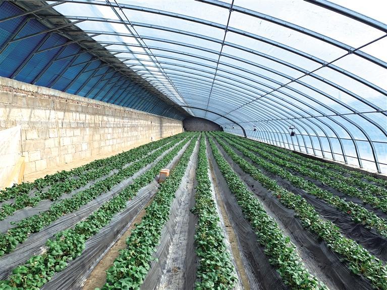 科学种植让草莓产量翻番
