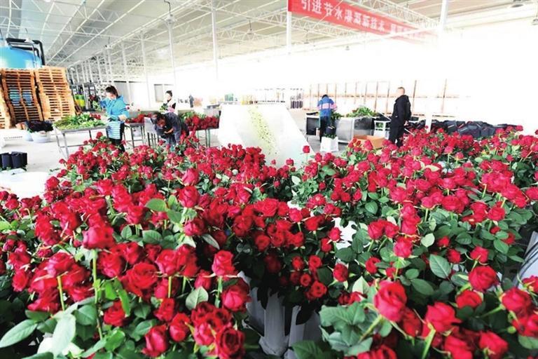 新区鲜切玫瑰正式量产上市