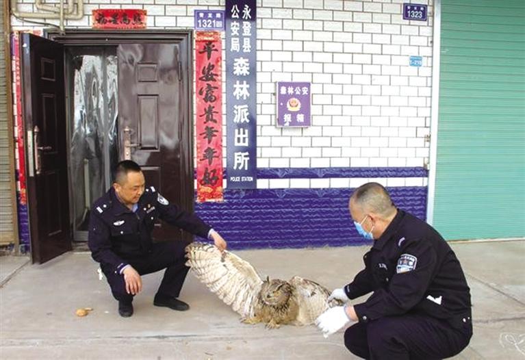 """警民联手救助国家二级野生保护动物""""雕鸮"""""""